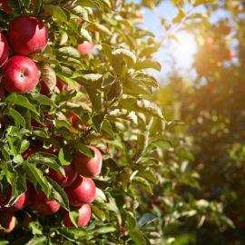 Jabłka z Sandomierza